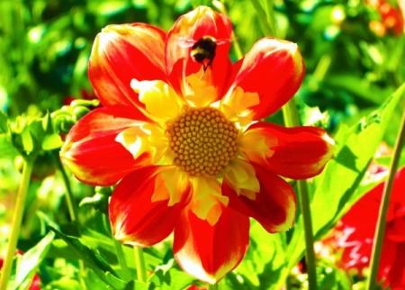 Bumblebee on Large Orange and Yellow Flower