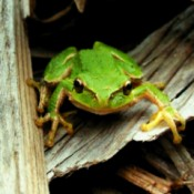 Green Frog Sitting on Wood Chips