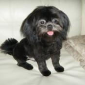 Black Shih tzu pup.