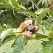 opening chestnut on tree