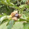 opening chestnut on tree