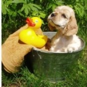 Grooming Your Dog, Cocker puppy in a tub with a rubber duckie.