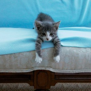 Preventing Cats from Scratching Furniture, Kitten with front paws dangling over the front of the couch.