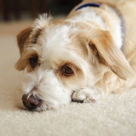 Sad looking puppy on carpet