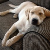 Young yellow lab napping on the couch.
