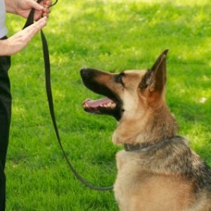 Teaching a German Shepherd to stay.