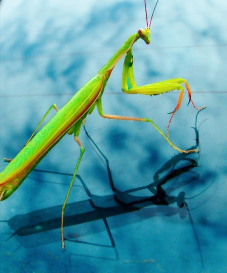 A praying mantis with a cloudy background.