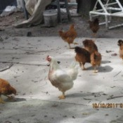 Red the Rooster and Chickens in Yard