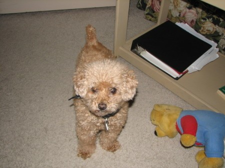 Chloe the Poodle Looking up at Camera