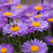 Aster flowers being pollinated by a bee.