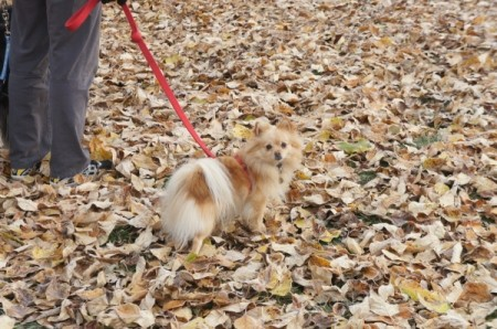 Lily the Pomeranian on Leash in Fall Leaves