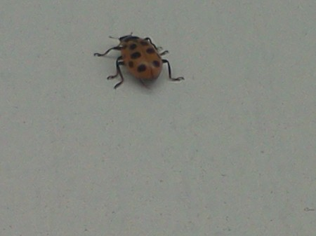 Lady Bug Crawling Away from Camera