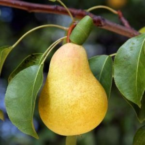 Large Yellow Pear on Tree