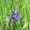 Purple Iris in Ireland