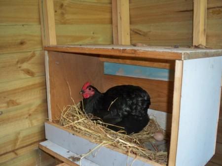 Hen in nest box.