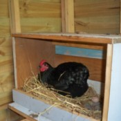 Hen in nest box.