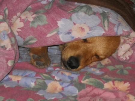 Jack the Pomeranian Dachshund Sleeping Under a Blanket