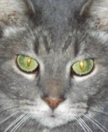 Closeup Shiloh the Cat