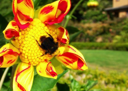 Large Fuzzy Bumblebee on Yellow and Red Blossom