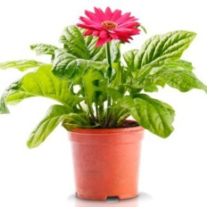 A flowering plant in a pot.