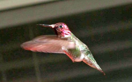 Red and Green Hovering Hummingbird
