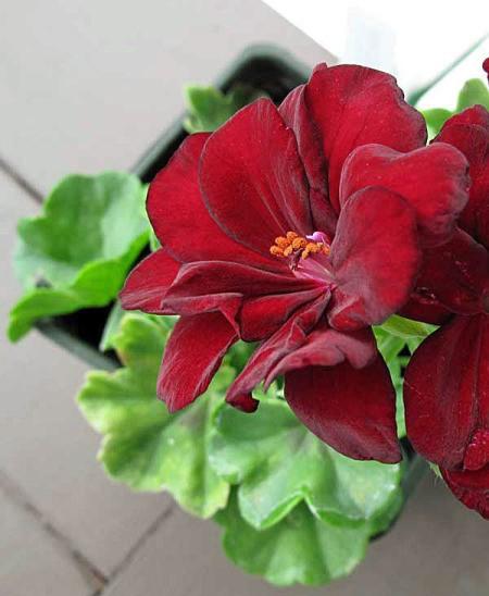 Closeup of Arctic Red Geranium