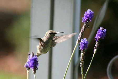 hummingbird at lavender
