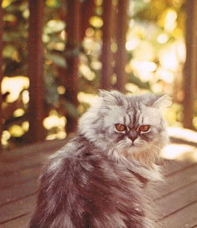 Niki the Persian Cat