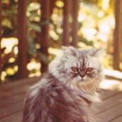 Niki the Persian Cat