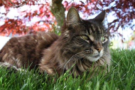 Desire the Cat Sitting Under Vine Maple Tree