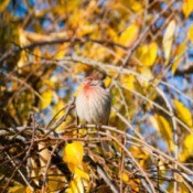 Finch in Autumn Tree