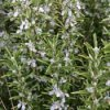 Rosemary is a salt tolerant plant.