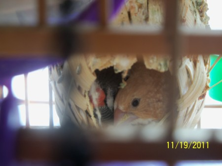 Two birds in a sleeping cage nest.