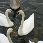 The Swans of Ireland