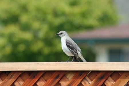 Mockingbird Visits our Garden