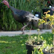 Wild Turkey Strutting By