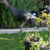 Wild Turkey Strutting By