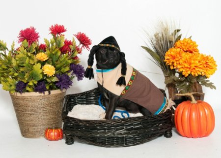 A pug dressed up for Thanksgiving as a Pilgrim.