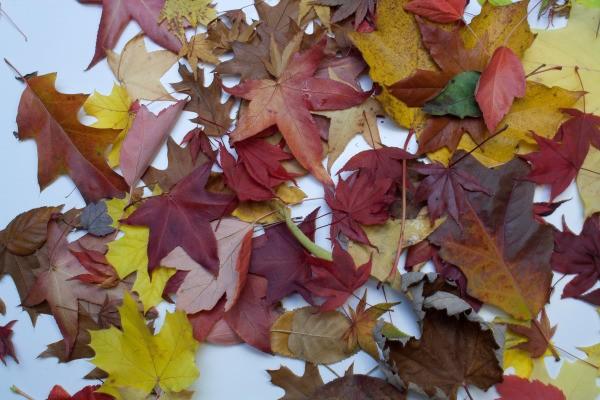 Autumn Lanterns, Drying Leaves