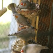 Finches in a chicken wire cage.