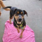 Black and brown dog on pink towel.