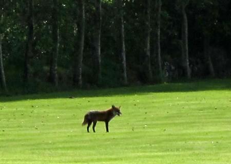 Irish Fox