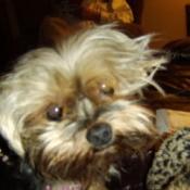 Bella the Yorkie Dog