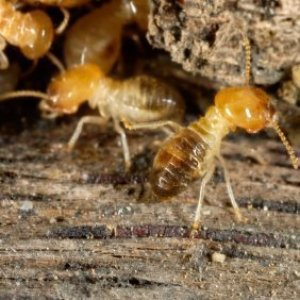 Closeup of termites in wood.