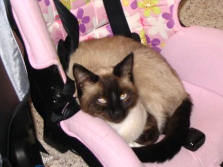 Siamese cat sitting in a child car seat.