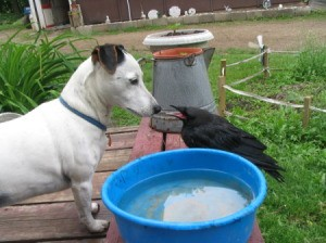 Shinook the Jack Russell Terrier looking at Jett the Crow