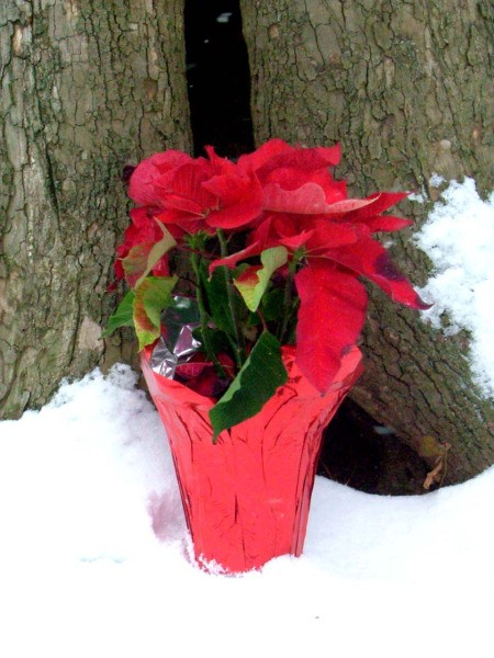 Winter Surprise In Alabama, Poinsettia in the Snow