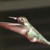 Anna's hummingbird closeup Zoom