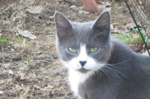 Gray cat with white cheeks and chest.