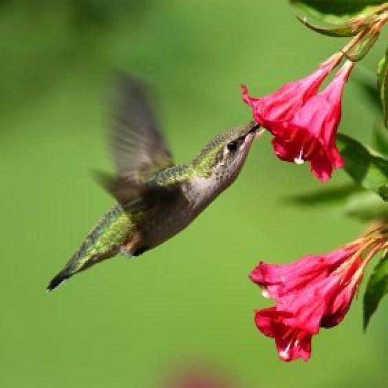 Making A Hummingbird Garden